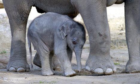 Baby-Elephants-kodanadu
