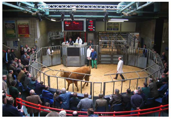 cattle%20auction
