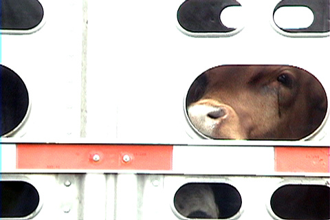 cow_transport