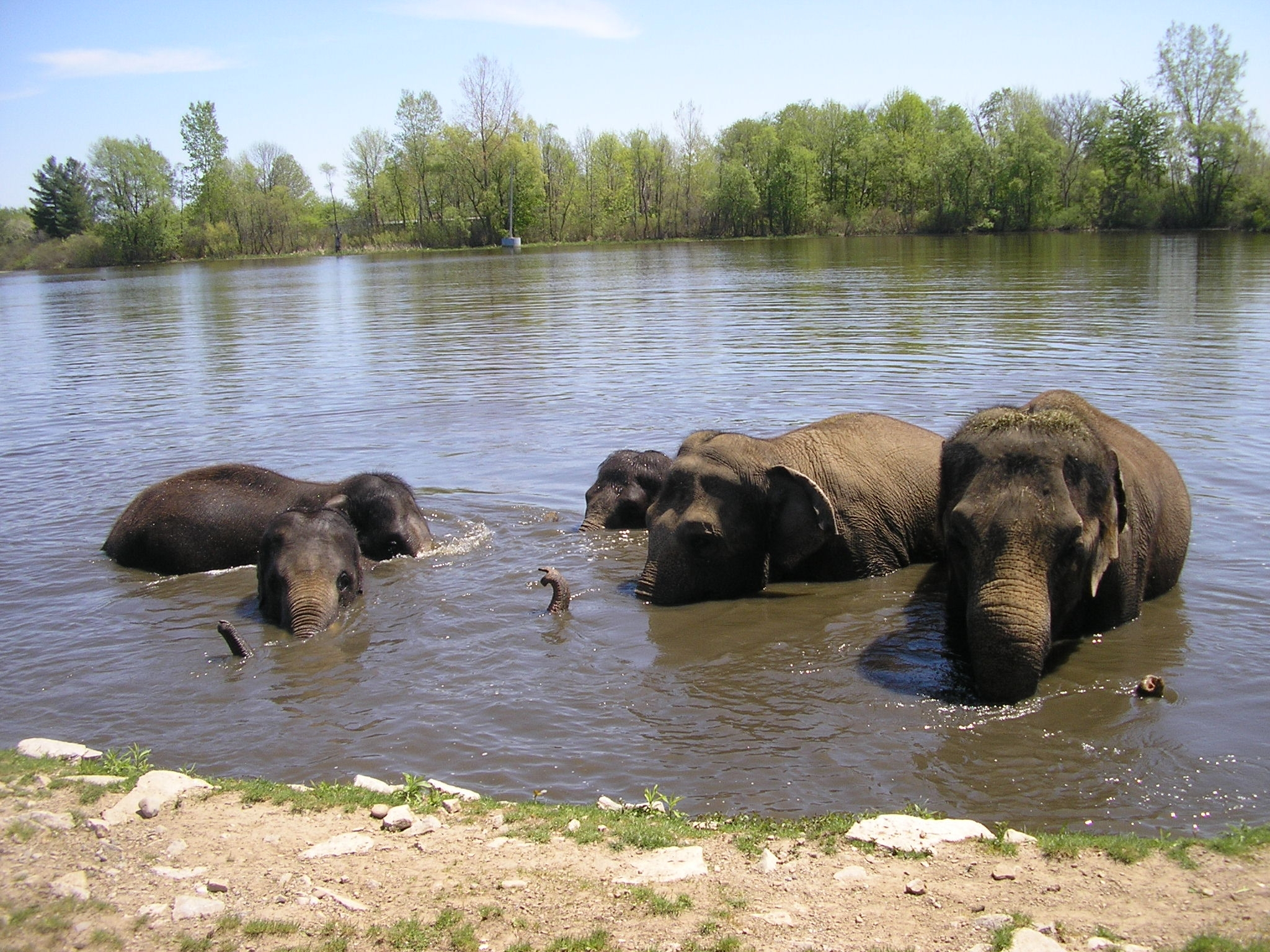 i am an elephant u2013 kirschner u0027s korner