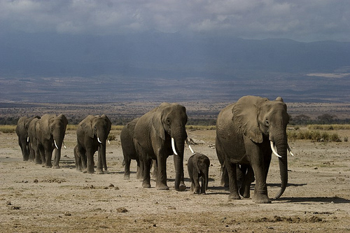 Elephants Walking in a Line in Kenya