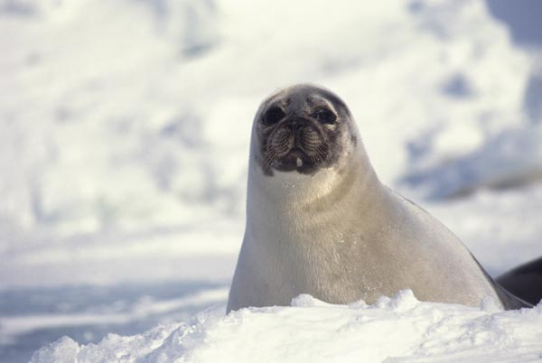 Canada-Seal-Slaughter