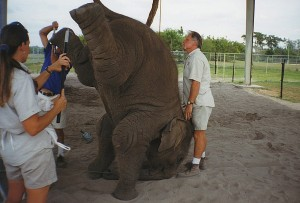 53_S_Outdoor-training-area_three-bullhooks-on-one-elephant-learning-headstand