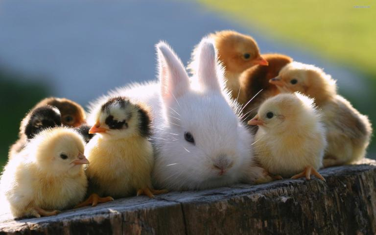 baby-chicks-and-rabbit-are-so--4602