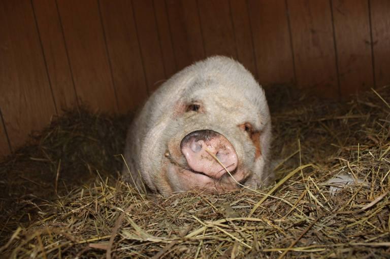 Tabra Pigdraba, the special needs pig