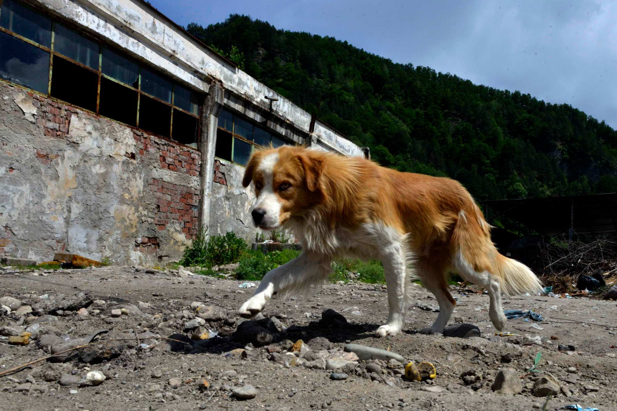 Romania, Brezoi   2014 06 02   Stray dogs are pictured in Brezoi, Romania, on June 2, 2014. FOUR PAWS animal welfare organization started in May 2014 a Stray Animal Care (SAC) project in different Romanian cities.